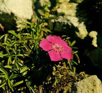 Fotografía de la planta Clavel de los alpes