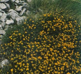 Fotografía de la planta Retama estrellada