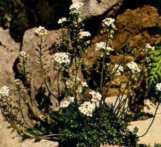 Fotografía de la planta Hutchinsia