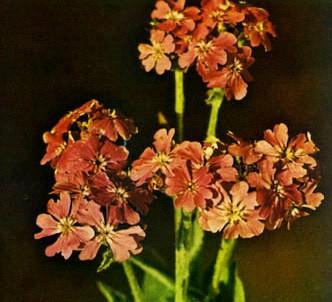 Fotografía de la planta Flor de júpiter