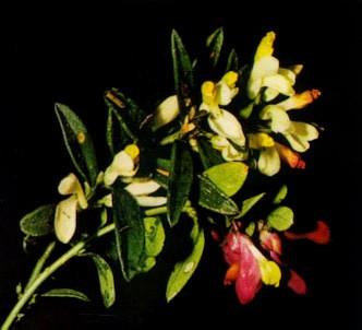 Fotografía de la planta Poligala