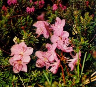 Fotografía de la planta Rododendro enano
