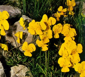 Fotografía de la planta Violeta de espolón largo