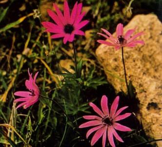 Fotografía de la planta Anémona de jardín