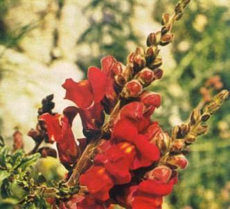 Fotografía de la planta Boca de dragón