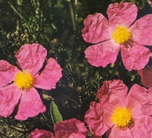 Jara de flores rosas