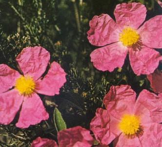 Fotografía de la planta Jara de flores rosas