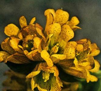 Fotografía de la planta Genciana maculada