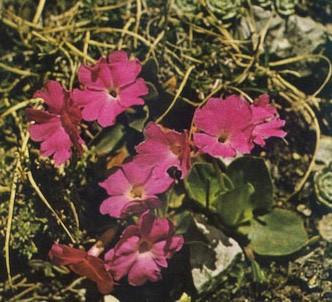 Fotografía de la planta Primula