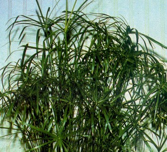 Fotografía de la planta Paraguas