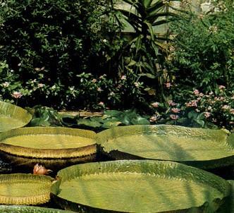 Fotografía de la planta Victoria regia
