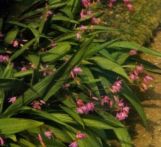 Fotografía de la planta Orquídea
