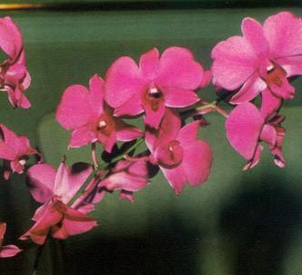 Fotografía de la planta Dendrobium