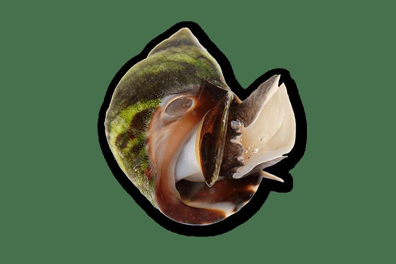 Periwinkle Snails