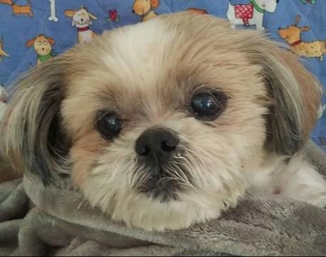 Loki Turner, a Shih Tzu rescue dog with Lend A Helping Paw Shih Tzu Rescue (LAHPSTR)