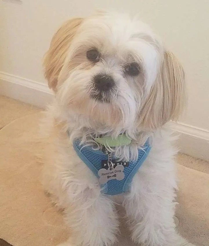 Brody Turner, a Lhasa Apso rescue dog with Lend A Helping Paw Shih Tzu Rescue (LAHPSTR)