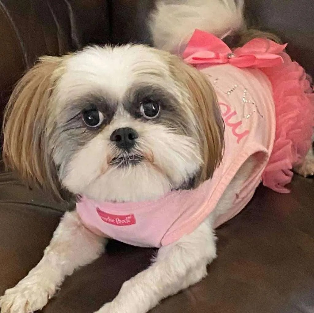 Lending a helping paw to Paprika Edinburg, a Shih Tzu rescue dog with Lend A Helping Paw Shih Tzu Rescue (LAHPSTR)