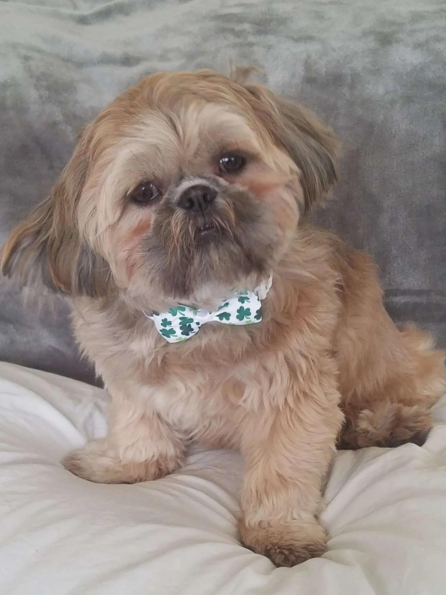Nolan Turner, a Shih Tzu rescue dog with Lend A Helping Paw Shih Tzu Rescue (LAHPSTR)