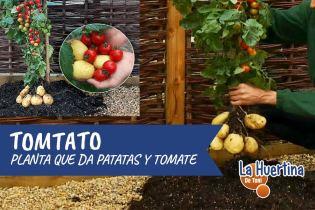 TomTato : Experimentando una planta que da tomates y patatas