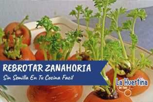 Como Rebrotar La Zanahoria Sin Semilla