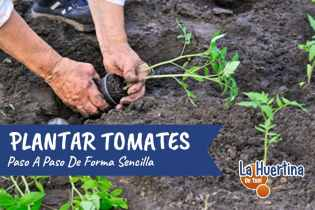 Como Plantar Tomates En El Huerto