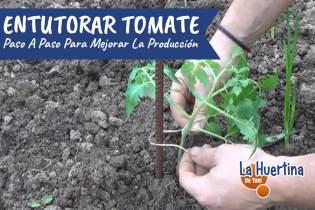 Como y Porque En tutorar Los Tomates