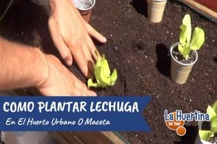 Como Plantar Lechuga En El Huerto Urbano