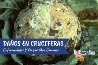 Cultivar Crucíferas: Plagas y Remedios