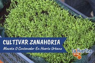 Como Sembrar Zanahorias En Maceta O Contenedor En El Huerto Urbano