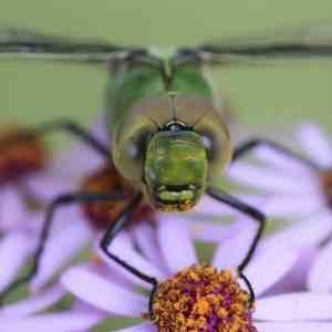 Conoce a las libélulas