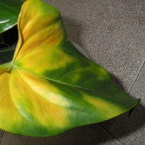 Manchas Amarillas en las hojas ¿Que Puede ser?