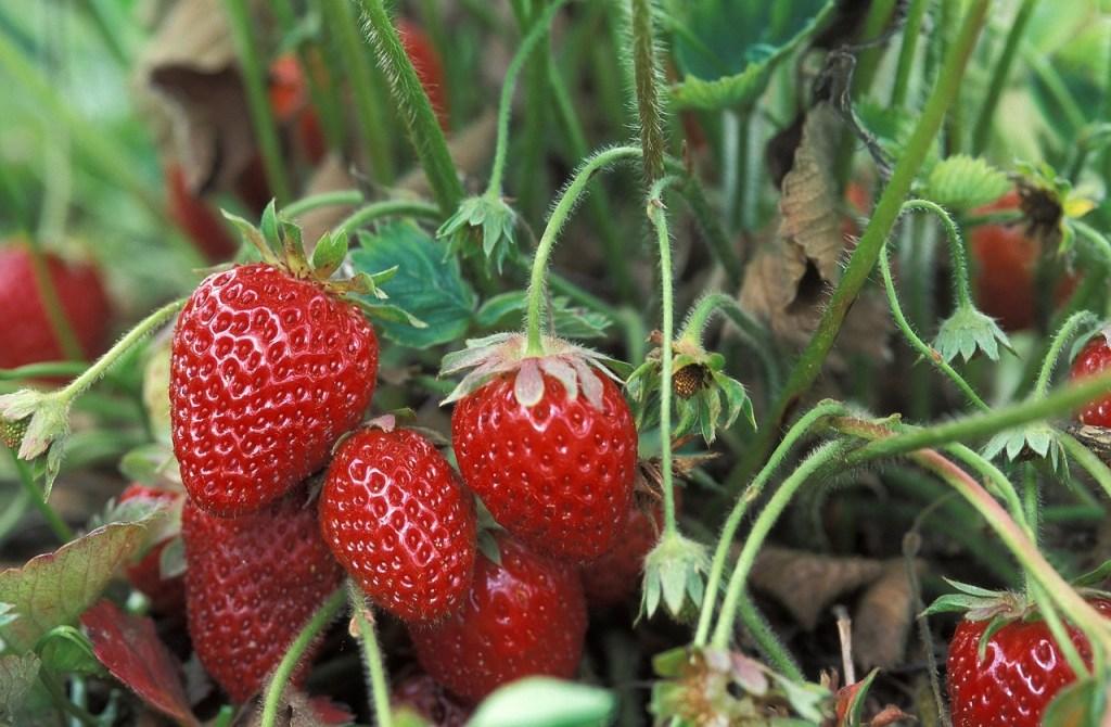 fresh-strawberries-1813412_1280