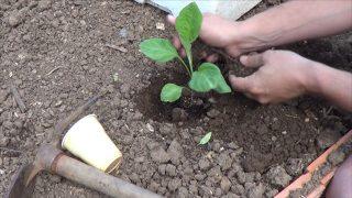 Como Plantar Berenjenas En El Huerto