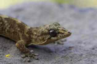 Aliados del Huerto: Los Geckos