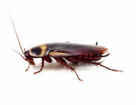 Plagas en la Huerta: La Cucaracha