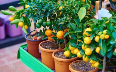 6 Frutales Que Podemos Germinar En Casa Facilmente