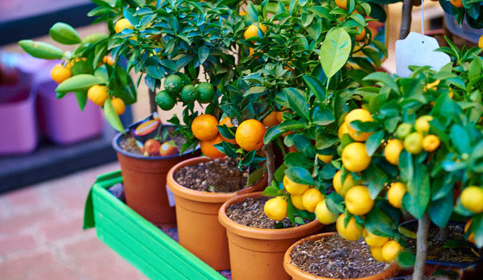 Resultado de imagen para plantas frutales dentro de casa