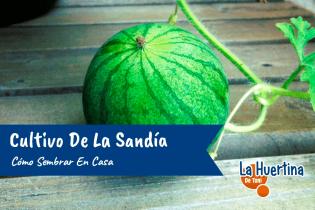 Cultivo De La Sandia Como Sembrar En Casa