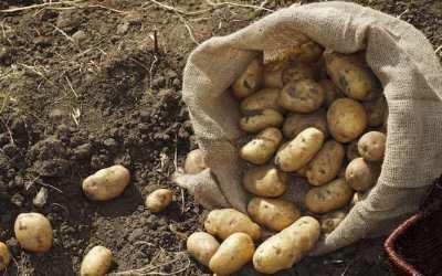Como Sembrar Patatas O Papas En El Huerto