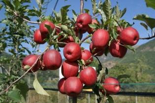 Plagas y enfermedades más Comunes del Manzano
