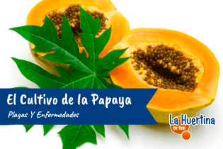 Plagas y Enfermedades del Cultivo de la Papaya