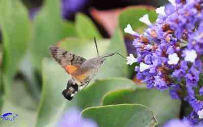 Insectos que Polinizan en la Huerta y como Atraerlos