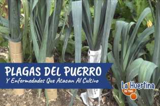 Plagas Y Enfermedades Del Cultivo Del Puerro