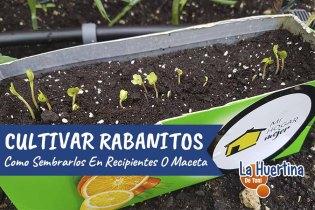 Como Cultivar Rabanitos En Maceta O Huerto Urbano – Como Sembrar