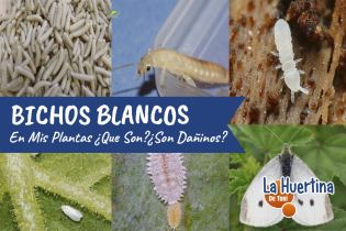 Bichos Blancos en mis Plantas ¿Qué Son y como Eliminarlos?