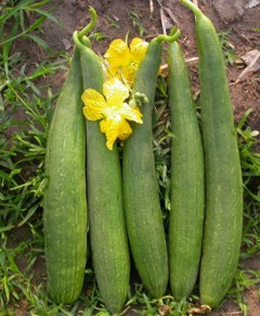 Smooth Gourd घिरौला Vegetables & Fruits Delivery in Nepal