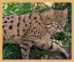 Chinese mountain cat, Felis bieti