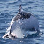 Coloración anómala en delfines del Estrecho