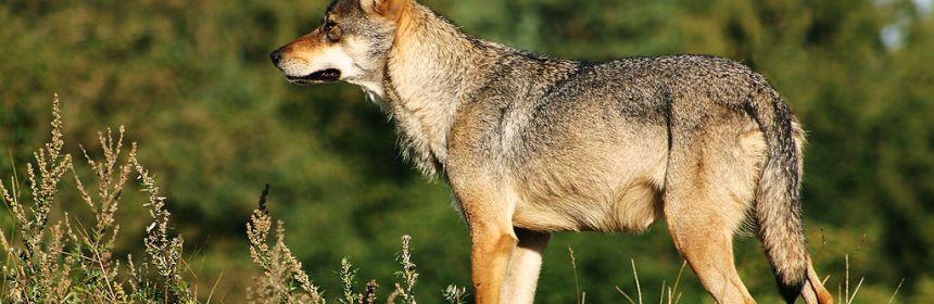 1024px-scandinavian_grey_wolf_canis_lupus_