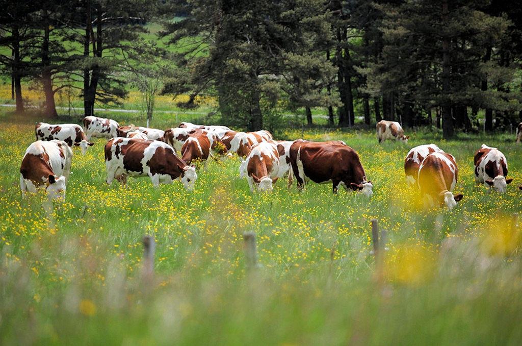 Vaches Montbélliarde Haute Loire